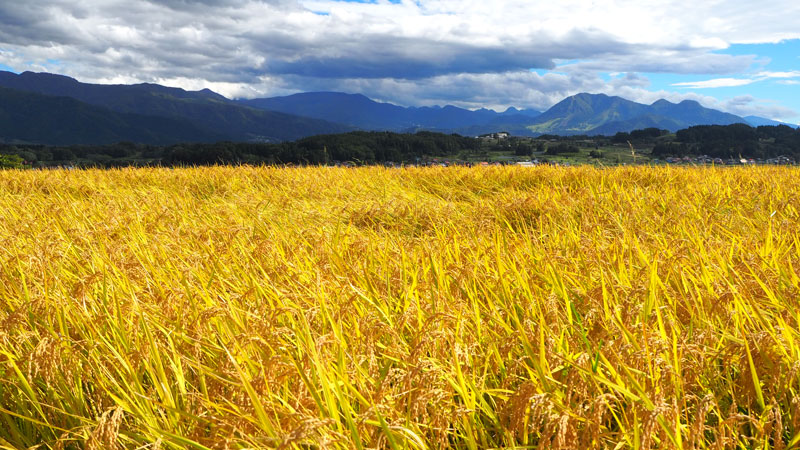 収穫直前の田んぼ